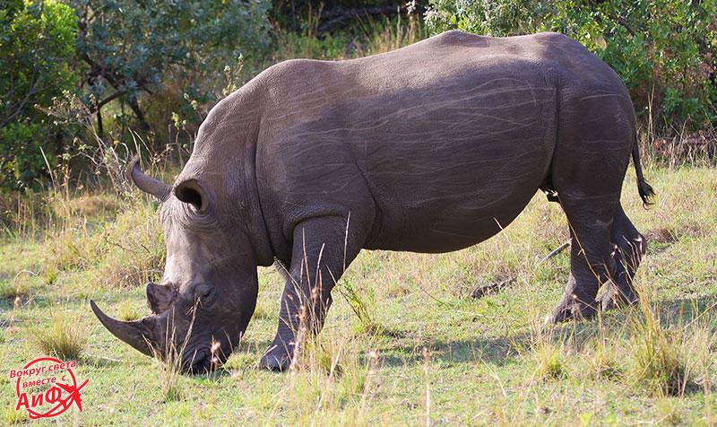 9-nosorog