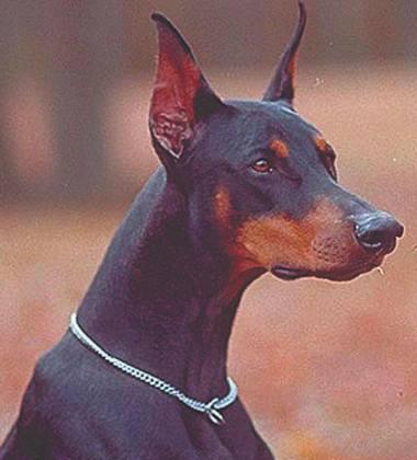 ...Зачем собакам обрезают хвосты и уши? 3e857f320f8008bd1a0cf98ba8a10de2_M