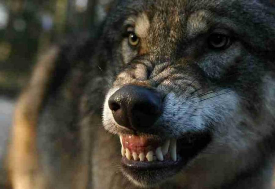 ВГомельском районе вдеревне волк покусал 4 человек